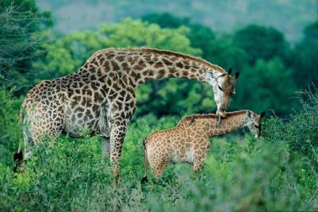 animales-padres-9